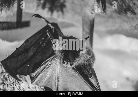 Black And White Portrait Of A Giant Fruit Bat/Flying Fox Hanging; Black and white series of portraits of a fruit bat or flying fox - Stock Photo