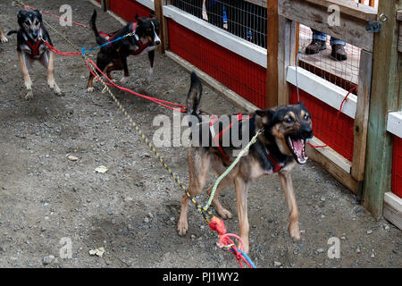 Sled dogs, Dredge Town, Skagway, Alaska, United States of America - Stock Photo