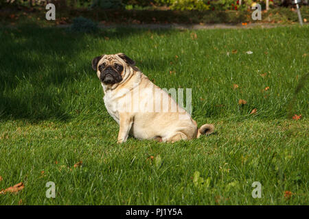 A serious pug dog sits in a green garden - Stock Photo