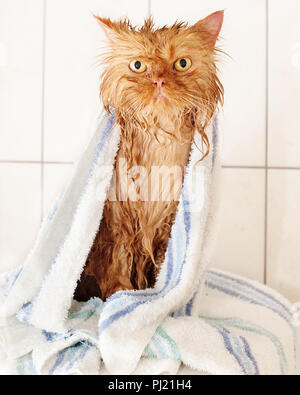 Wet red  traditional Persian cat with bath towel after bath - Stock Photo