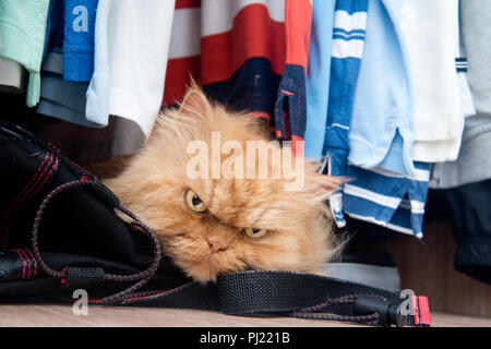 Portrait of Persian cat in wardrobe - Stock Photo