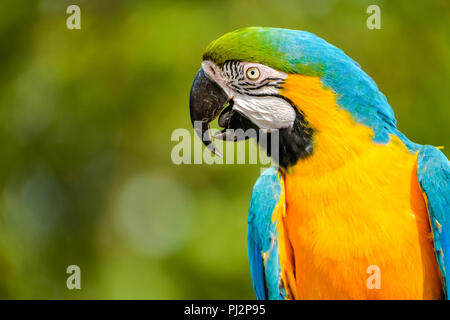 Profile portrait of a beautiful blue-yellow macaw. - Stock Photo