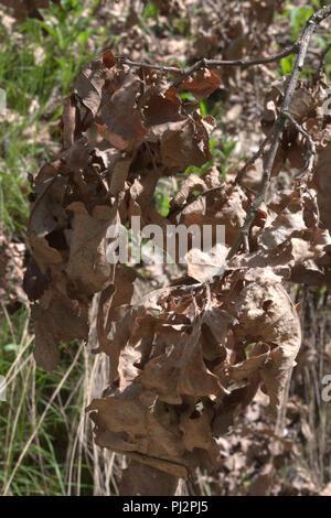 lush oak branch with dry foliage, close-up - Stock Photo