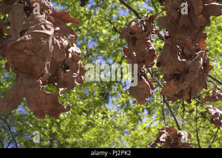 bunches of brown oak leaves on dry branch. Verdant foliage in blurred background - Stock Photo