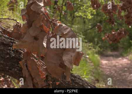 evening forest. bunch of large faded leaves. oak trunk with cobweb at dirt road - Stock Photo