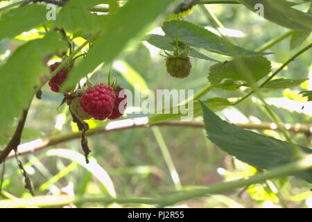 wild raspberry red well known berries, still green and already ripe on one stem - Stock Photo