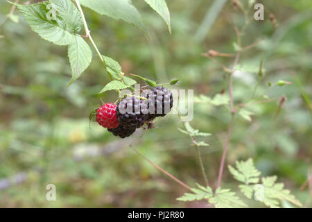 wild black raspberry Big berries, round-shaped, ripe and ripening on same thorny stem cluster on blurred background of hairy bud with emerging flowers - Stock Photo