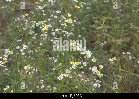 myriads of yellow-white flowers on high spreading stalk. shallow depth of field - Stock Photo
