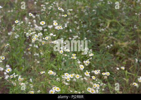 Days of green European spring and summertime. yellow-white forest flowers on high spreading stalks. wild thickets of ox-eye daisies - Stock Photo