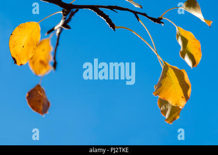 Branch with golden, yellow leaves against blue sky. Autumnal minimal background. Photo with shallow depth of focus. Copy space. - Stock Photo