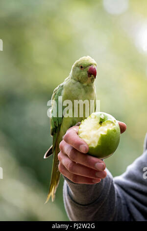 Ring-necked Parakeet - Psittacula krameri with green apple in mans hand, Central London, England Britain UK - Stock Photo