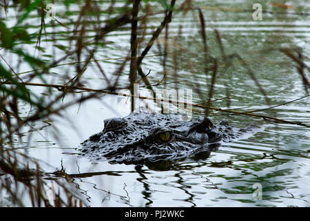 A Salt-water crocodile at crocodile breeding centre in the Sunderbans. It was established in Koromjol area of Mongla upazila in East Sundarbans Divisi - Stock Photo
