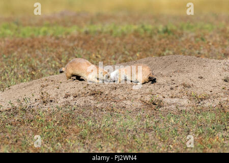 Two Black-tailed prairie dogs (Cynomys ludovicianus) communication - Stock Photo