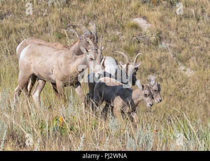 Bighorn sheeps (Ovis canadensis) at Badlands National Park - Stock Photo