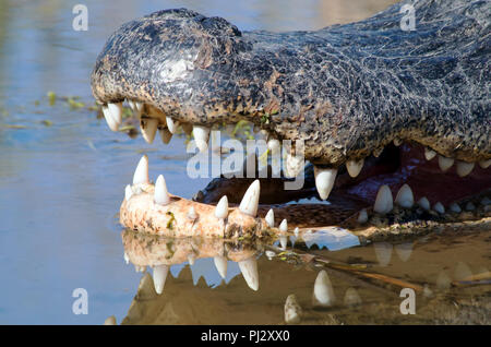 A close shot of the snout of an American Alligator showing teeth reflected in the marsh water. Leonabelle Turnbull Birding Center in Port Aransas, TX. - Stock Photo