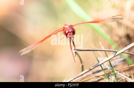 A red dragonfly rests on a dead piece of grass in northern California.