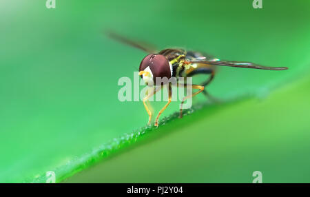 A hoverfly (family Syrphidae) rests on a green leaf in northern California. - Stock Photo