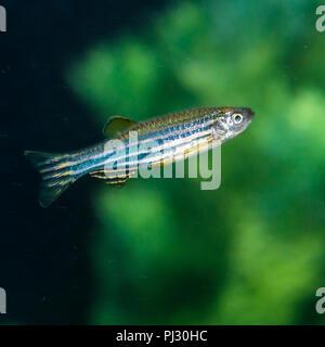 A macro shot of a zebra danio tropical fish. - Stock Photo