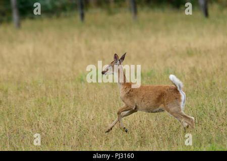 A white tailed deer runs in a field near Hauser, Idaho. - Stock Photo