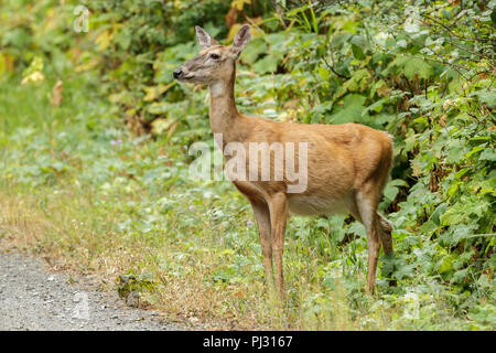 A white tailed deer stands by thick vegetation near Hauser, Idaho. - Stock Photo
