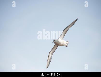 Fulmar, (Fulmarus glacialis), Northern Fulmar or sometimes Arctic Fulmar, in flight, Whitby coast, Yorkshire, British Isles - Stock Photo