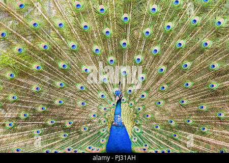 Beautiful male peacock showing up his feathers close up, blue and green colors, selective focus - Stock Photo