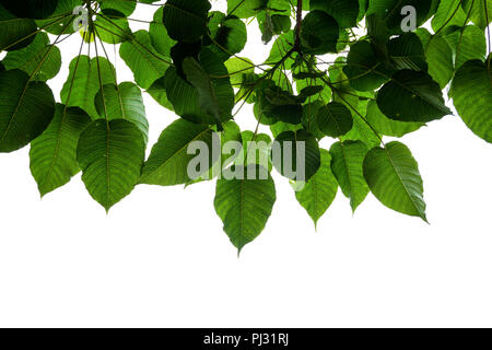 Green Bodhi tree leaf and branches from under tree on white using as background and wallpaper - Stock Photo