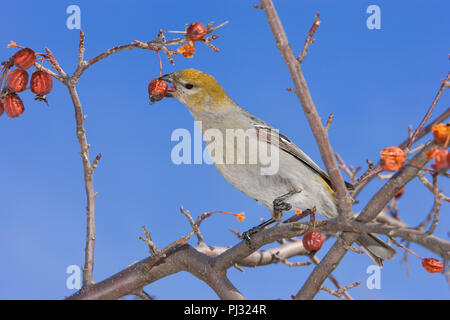 North America, Canada, Ontario, Pine Grosbeak, Pinicola enucleator - Stock Photo
