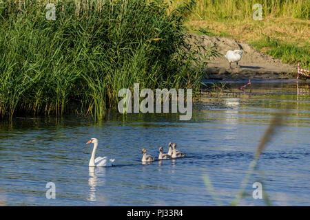 A brood of swans, consisting of a swan mother and four baby swans, floats along the river near the reeds. Site about nature, wild life, birds, family. - Stock Photo
