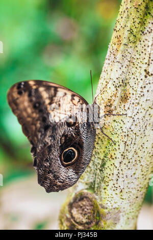Close up of Caligo memmon butterfly - Stock Photo