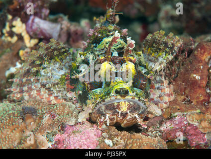 Papuan Scorpionfish, tropical reef of Bunaken Island, North Sulawesi, Indonesia - Stock Photo