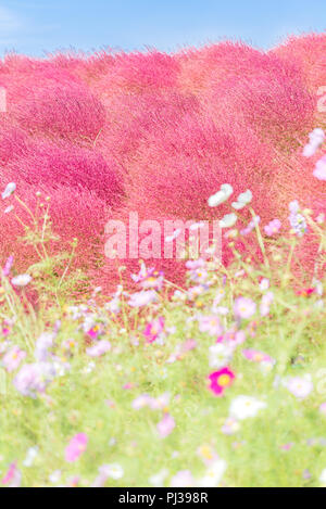 Kochia and cosmos bush with hill landscape Mountain,at Hitachi Seaside Park in autumn with blue sky at Ibaraki, Japan - Stock Photo