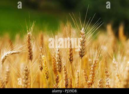A bright wheat field ,several durum wheat spikelets in the foreground with long stems, beautiful the color contrast between the golden yellow wheat an - Stock Photo