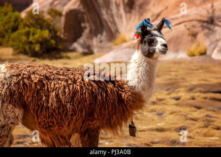 Portrait of a llama looking in Bolivia, South America - Stock Photo