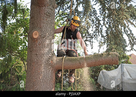 Arborist at work cutting a tree branch using a chainsaw. - Stock Photo