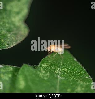 Fruit fly sitting on the edge of a green leaf - Stock Photo