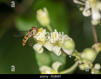 Hoverfly getting nectar from a white flower - Stock Photo