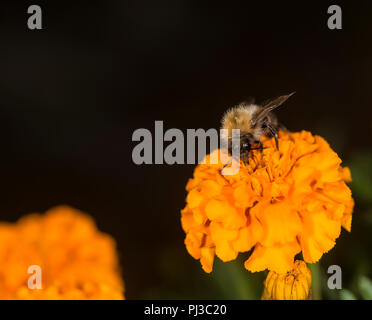Bumblebee taking nectar from a colorful flower - Stock Photo