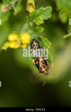 Two shield bug nymphs mating - Stock Photo