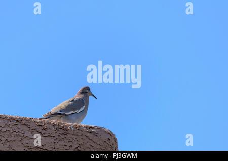Dove setting on stucco ledge against a bright blue sky. - Stock Photo