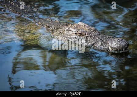 Alligator surfacing at St. Augustine Alligator Farm in St. Augustine , Florida. (USA) - Stock Photo