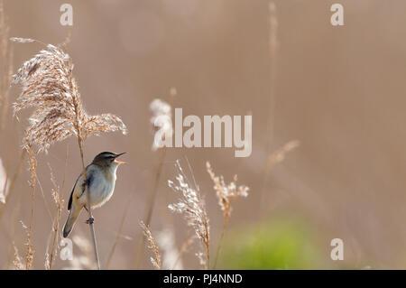 Sedge Warbler (Acrocephalus schoenobaenus) - Singing - Bay of Somme - France Phragmite des joncs - Stock Photo