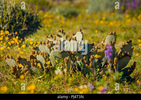 blooming cacti in Death Valley, California - Stock Photo