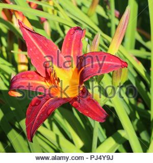 Red daylily (Hemerocallis fulva) with waterdrops - Stock Photo