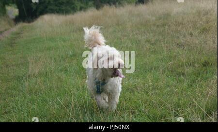 Cockerpoo running in grass - Stock Photo
