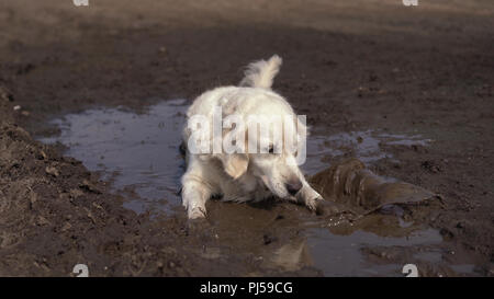 Funny picture - a beautiful thoroughbred dog with joy lying in a muddy puddle - Stock Photo
