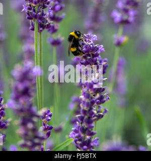 Banded white-tailed bumblebee on lavender flower. Probably a Garden bumblebee (Bombus hortorum) on a flower of English lavender. L. angustifolia. - Stock Photo
