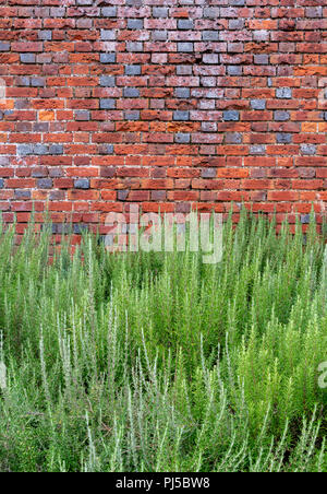 Healthy lavender plants in front of old brick wall at lavender farm called Downderry Nursery in West Peckham, near Tonbridge in Kent - Stock Photo