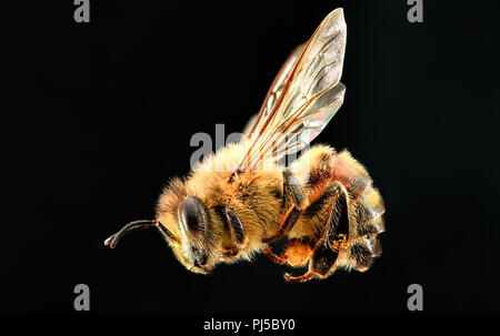 Side profile at high magnification of a western honey bee (Apis mellifera). - Stock Photo
