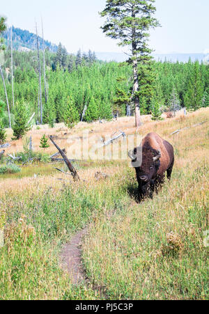 An American bison (Bison bison) walks down a trail in Yellowstone National Park, Wyoming. - Stock Photo